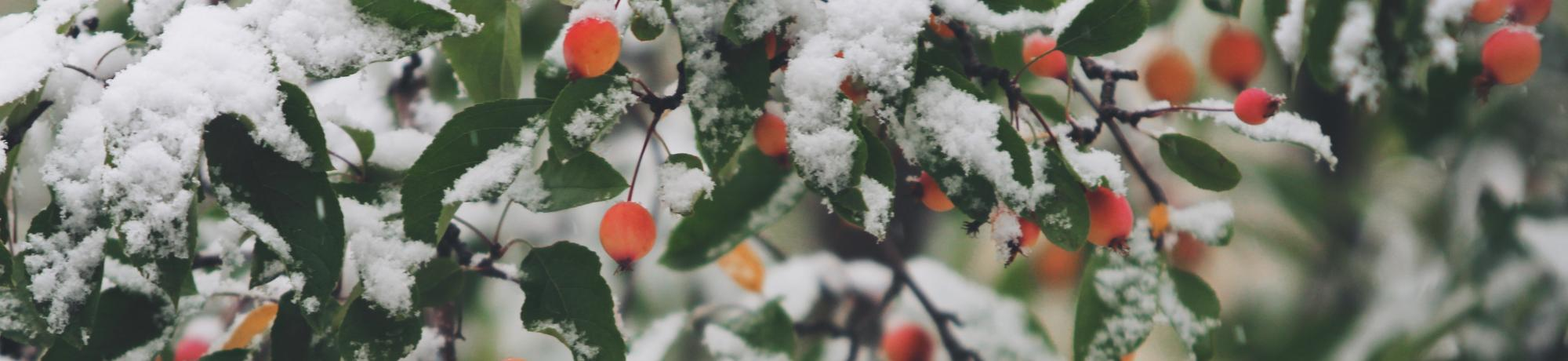 snow capped berries on a treee